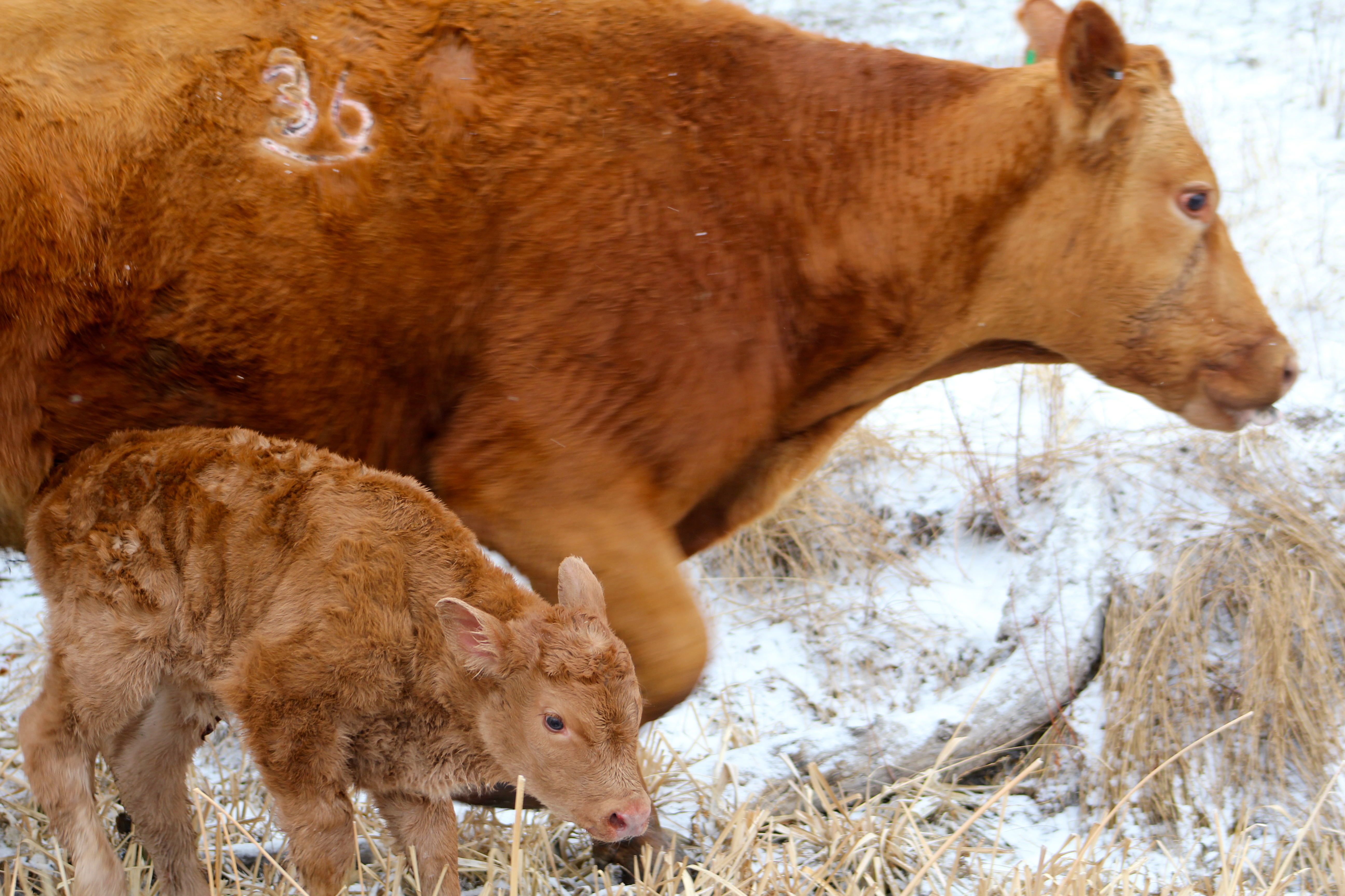 Brown baby cows - photo#8